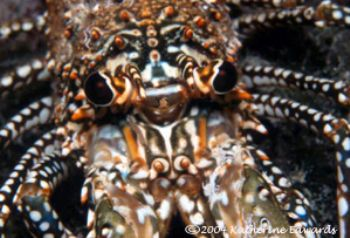Spiny lobster in Bahamas with Nikonos V and extension tubes. by Katherine Edwards 